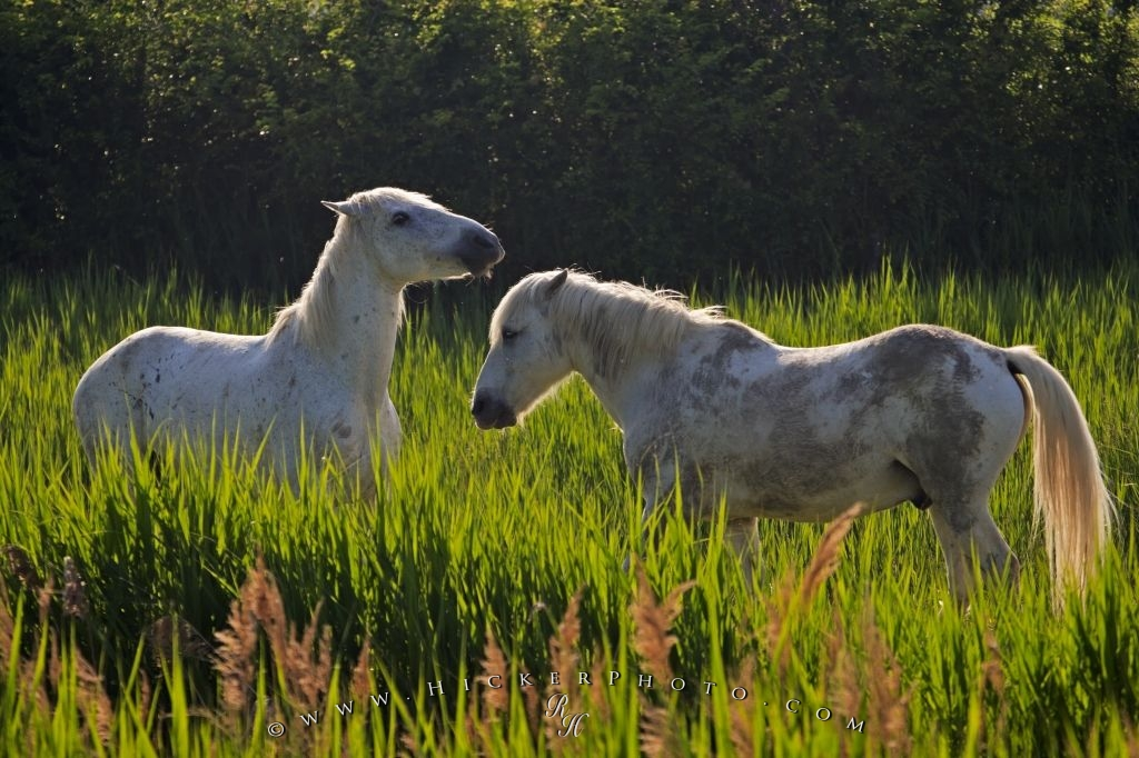 Small Horses Camargue Provence France