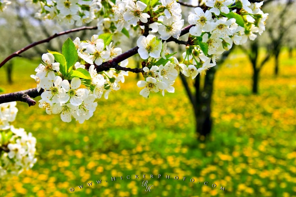Spring flowering tree photo information photo of flowering fruit trees during spring in an orchard near hamilton in ontario canada mightylinksfo Images