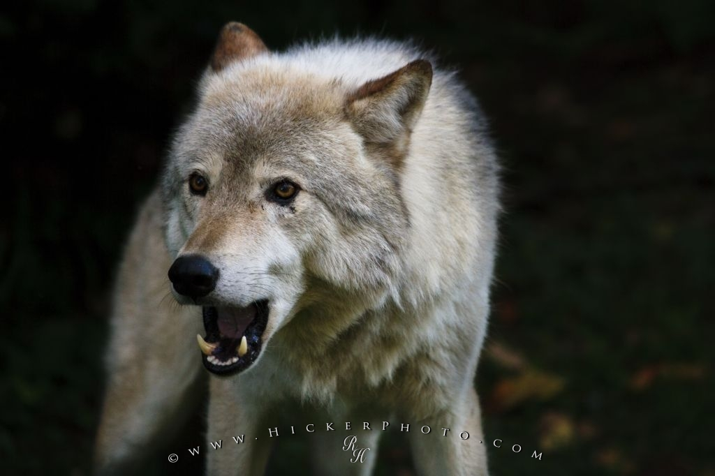 Free Wallpaper: Timber Wolf Animal Picture