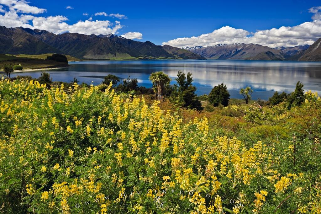 Tree Lupins Lake Hawea New Zealand
