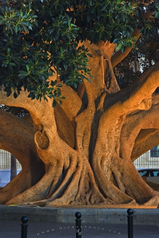 Old Ficus Tree Trunk Cadiz City Andalusia