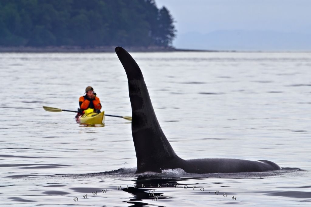Kayak With Whales Vancouver Island