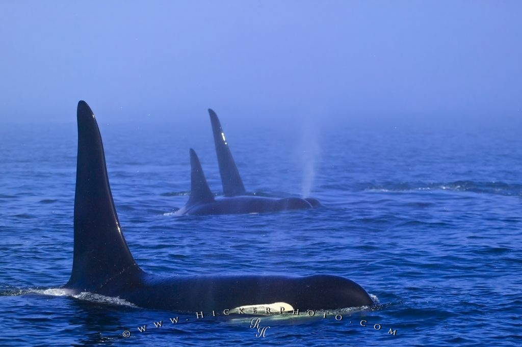 Family Orca Whale Group Traveling Fog