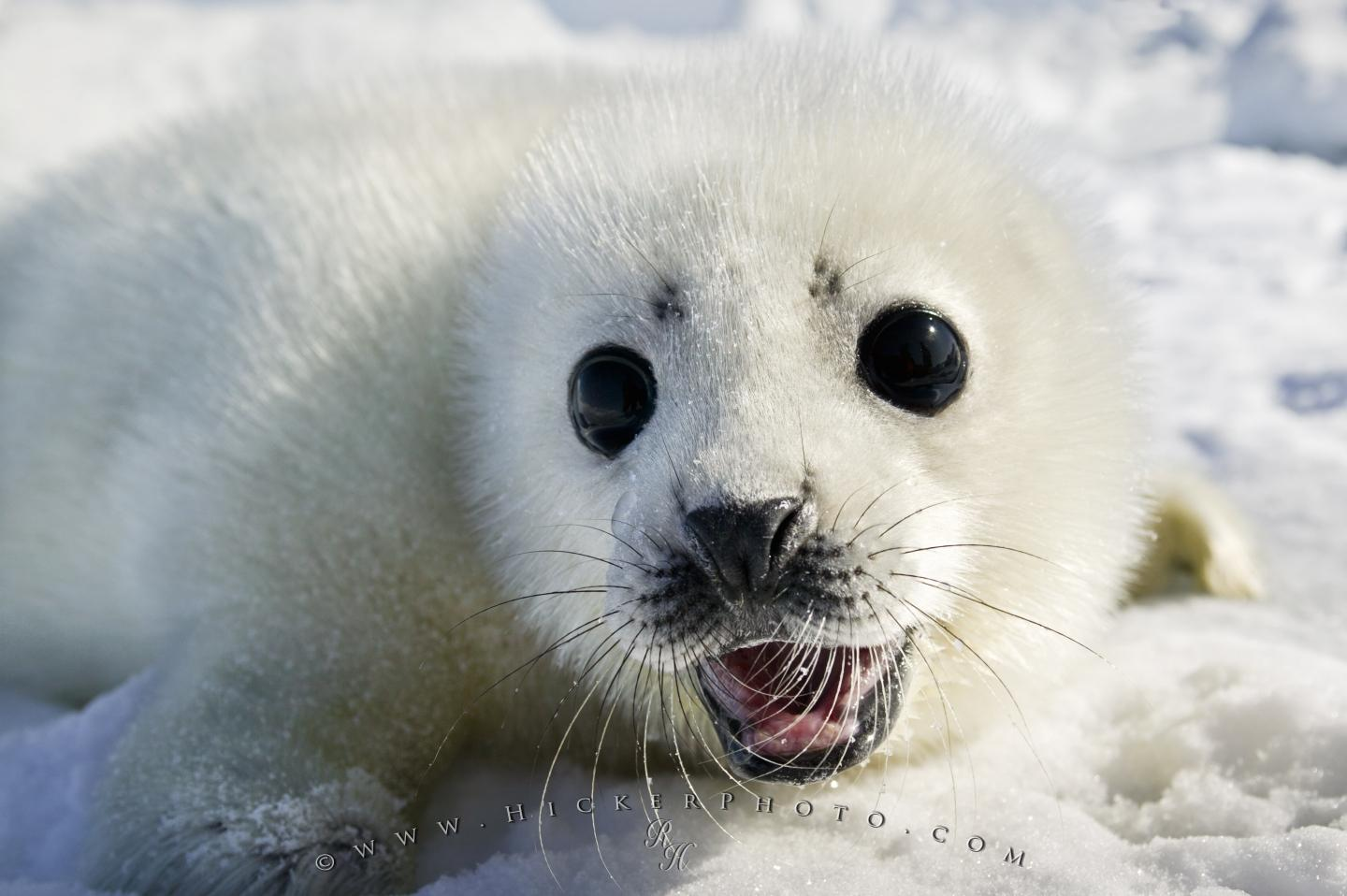 Free wallpaper background: Cute White Coat Harp Seal Baby Pup Baby Cute Seal Animal