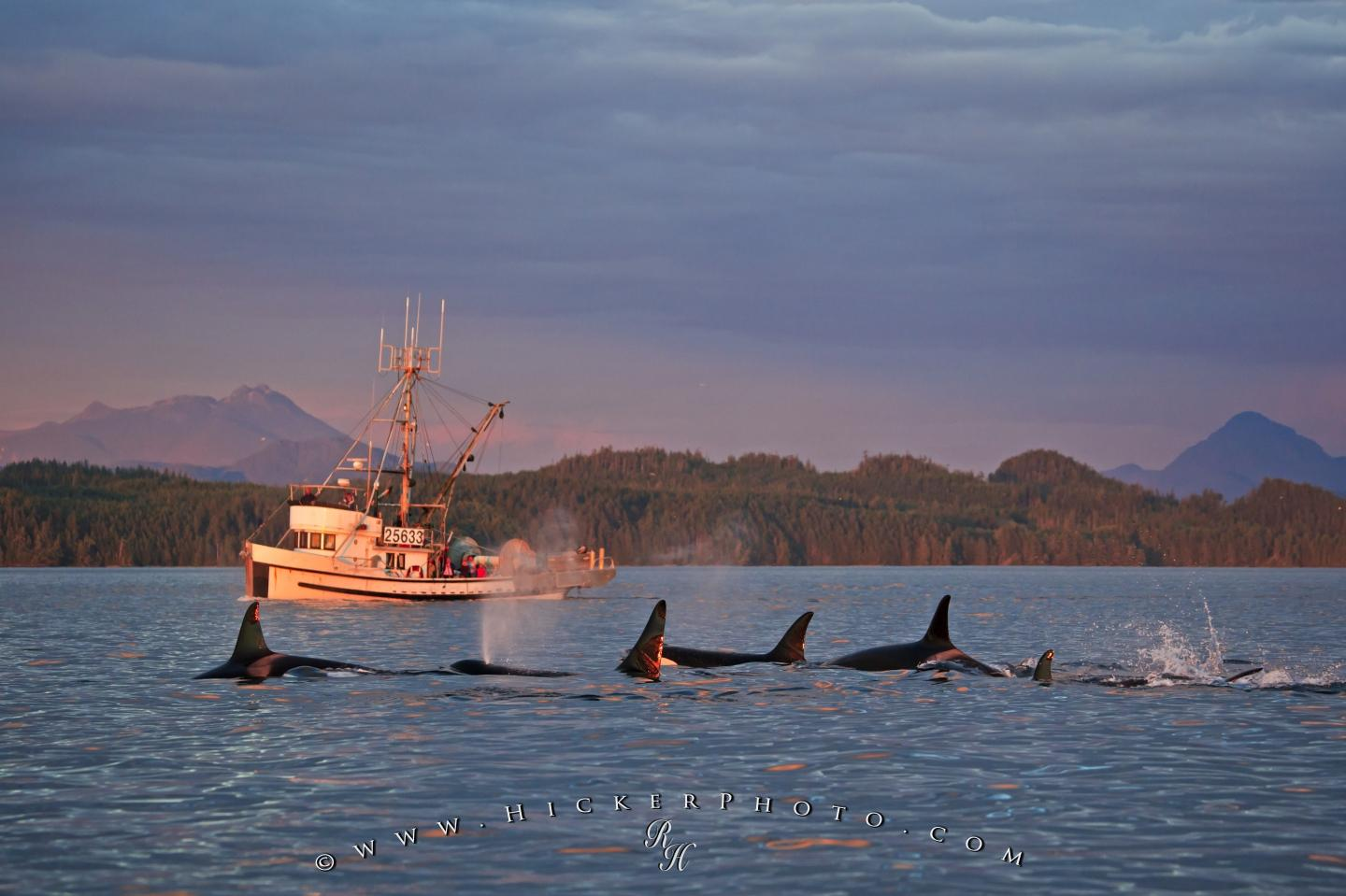 Free wallpaper background: Fishing Boat Orca Pod Vancouver Island