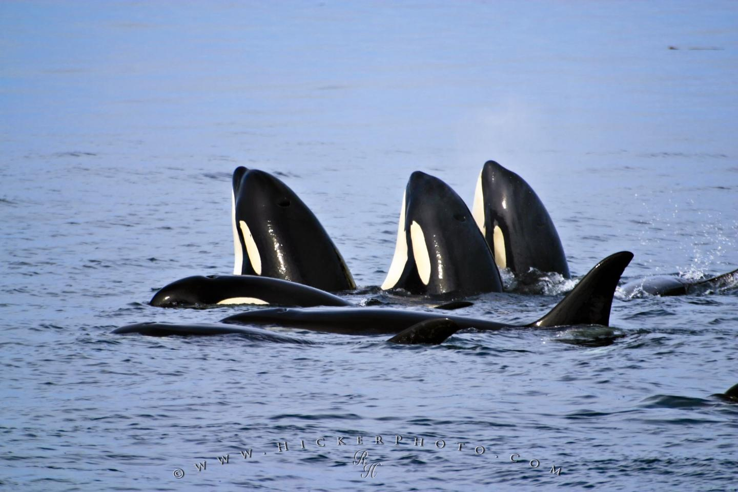 Free wallpaper background family group orcas killer whales spy hopping free wallpaper size 1440px altavistaventures Images