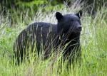 photo of American Black Bear