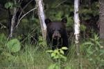 photo of Baby Black Bear