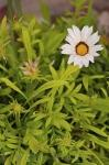 photo of Beautiful White Gazania Flower Picture