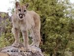 photo of Cougar Animal