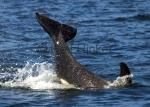 photo of Killer Whale Baby