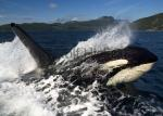 photo of Photo Of Killer Whales