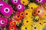 photo of Livingstone Daisies Flower Picture