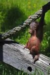 photo of Orangutan Pictures