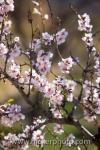 photo of Pink Almond Tree Flowers Picture