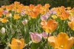photo of Tulip Pictures