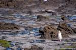photo of Yellow Eyed Penguin Walk Curio Bay New Zealand