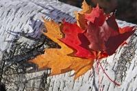 Algonquin Provincial Park is one of the best places in Canada to view fall scenery, where the leaves of maple and birch trees have turned bright colors of red, yellow and orange such as these leaves near Rock Lake.
