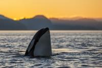 A resident Orca whale spy hopping during sunset off the northern Vancouver Island coast in Johnstone Strait.
