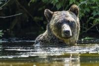 Coastal grizzly bear poking his head above the water while swimming and fishing in Glendale River, British Columbia, Canada.