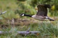 An action shot of a Canada Goose flying low along the water edge in Knight Inlet, British Columbia, Canada.