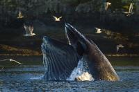 A large Humpback whale bubble net feeding with its mouth wide open, sea gulls joining the party, photographed in Broughton Archipelago in British Columbia, Canada.