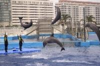Four bottlenose dolphins at the L'Oceanografic in Valencia, Spain in Europe show visitors the acrobatic maneuvers that these dolphins are capable of.