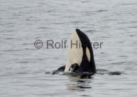 Orca Whales A73 Spyhopping