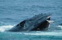 Wildlife Pictures of a feeding Humpback Whale