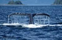 Humpback Whale Tail Dripping Water