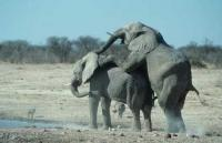 Elephants Mating in Etosha National Park in Namibia, Africa