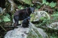 Black Bears Sitting on Rock
