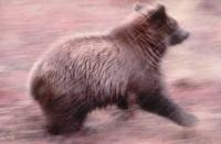Stock Photo of a Grizzly Bear running in autumn in Denali National Park