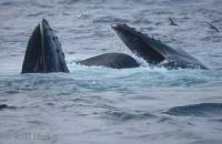 Humpback Whales Feeding