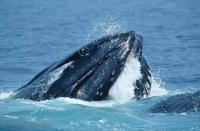Humpback Whale Feeding Cape Cod