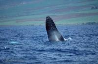 Humpback Whale Head Hawaii