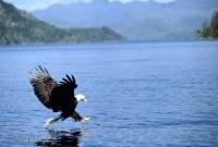 Fishing Eagle Pictures of Eagles