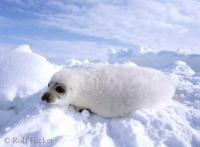 Harp seal also known as white seal
