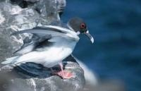 Swallow tailed Gull