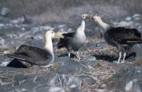 A small group of waved albatrosses interacting on Espanola Island, one of the many Galapagos Islands.