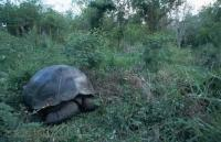 Stock Photo of a giant galapagos tortoise