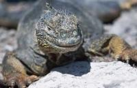 The land iguana is an animal found on the Galapagoes Island. There are many forms of wildlife in Ecuador.