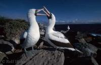 Stock Photo of masked booby birds