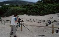 Jackass Africa Penguin Photos