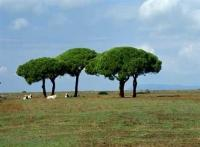 Picture of trees and maremma longhorn cattle in the Parco regionale della Maremma in Tuscany in Italy, Europe.