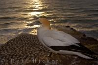 A solitary adult Australasian Gannet perches on a rock cliff overlooking the rest of the colony at Muriwai Beach near Auckland on the North Island of New Zealand during the sunset hours.
