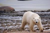 An adult Polar Bear keeps a close eye on her cub that is lingering around a Tundra Buggy near the shores of the Hudson Bay in Churchill, Manitoba.