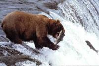 A brown bear catches a jumping salmon while standing at the edge of the Brooks Falls in Katmai National Park of Alaska.