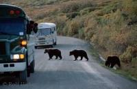 These Grizzly bears were seen crossing the road in Denali National Park in Alaska.