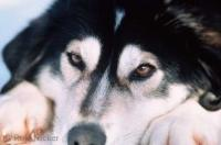 Alaska Sled Dogs Pictures